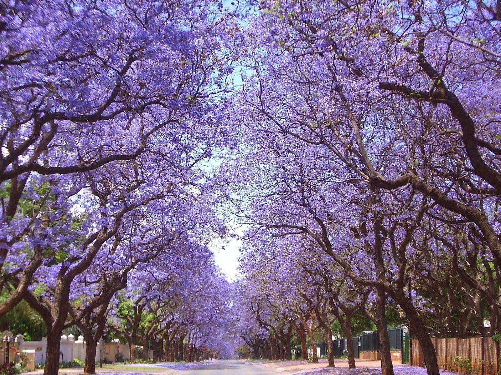 Hoa Jacaranda mát rợp cả con đường, chỉ cần có chút gió lay động, khung cảnh thần tiên có hàng ngàn cánh hoa bay sẽ xuất hiện trước mắt bạn