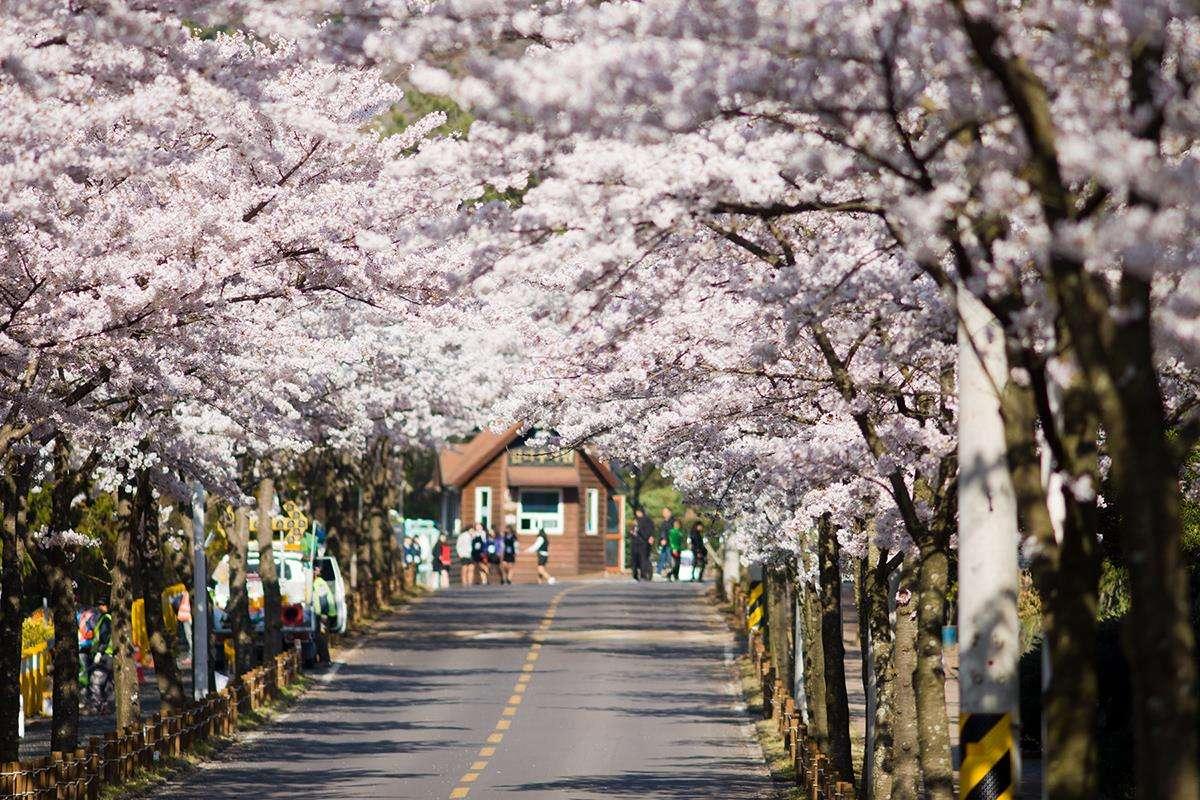 Hội hoa anh đào Jinhae Gunhangje