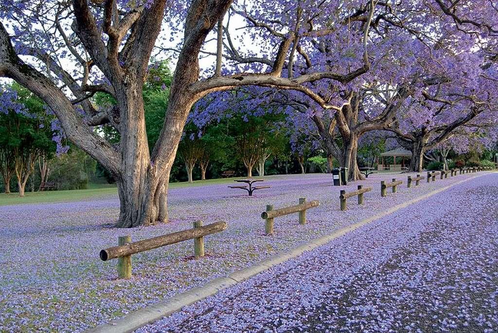 Ở Úc, thấy hoa Jacaranda là thấy mùa xuân