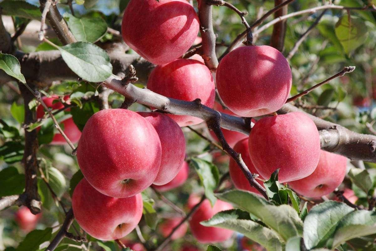Đến Aomori chiêm ngưỡng vườn táo chín mộng