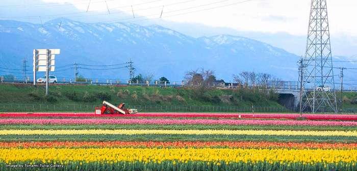 Hàng triệu đóa hoa Tulip khoe sắc rực rỡ
