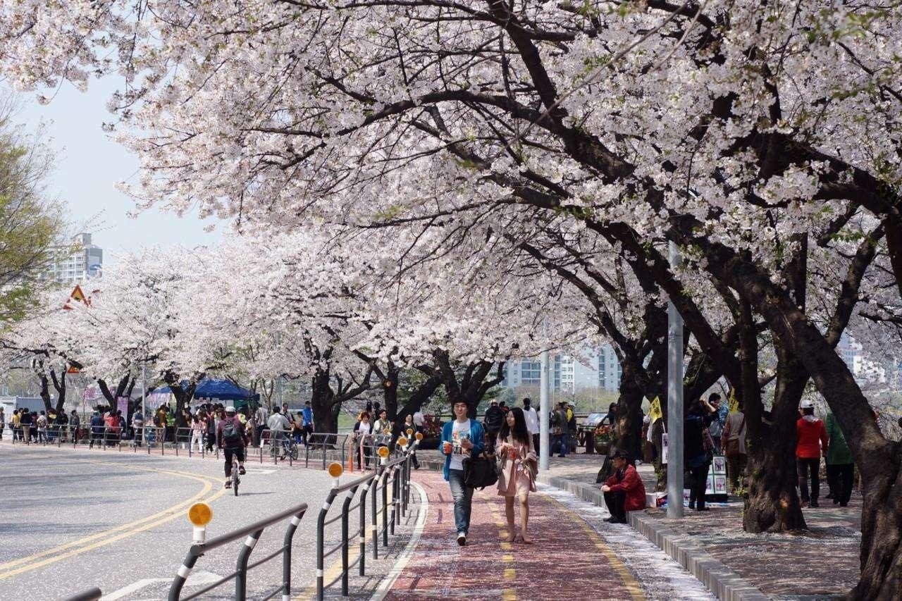 Hội hoa anh đào hồ Seokchon