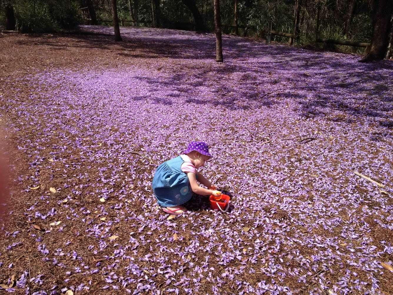 Không chỉ nhuộm sắc bầu trời, cánh hoa còn phủ tím mặt đất