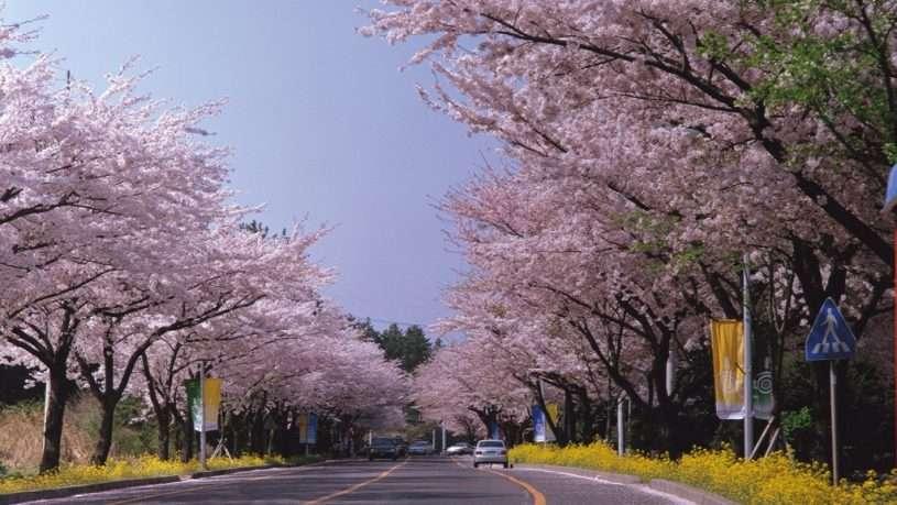 Hội hoa anh đào Jeju