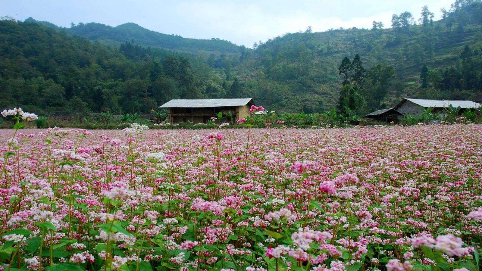 Cánh đồng hoa ở Hà Giang luôn bao phủ sắc tím lay động lòng người