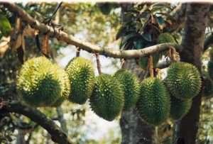 Supattra có gần 20 loại trái cây như: mít, sầu riêng, bưởi, chôm chôm, xoài, măng cụt, nhãn, thanh long