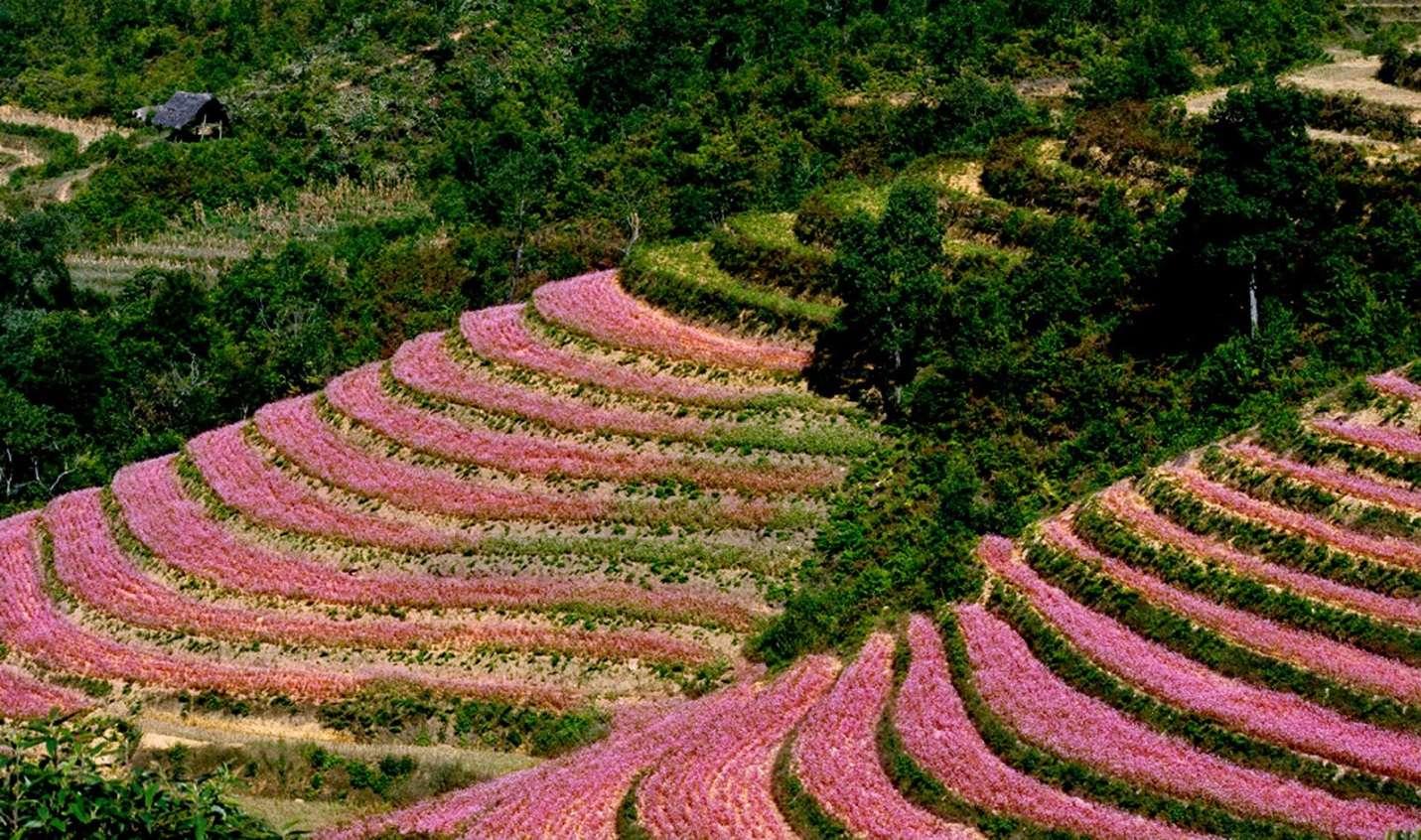 Hoa tam giá mạch phủ khắp triền đồi