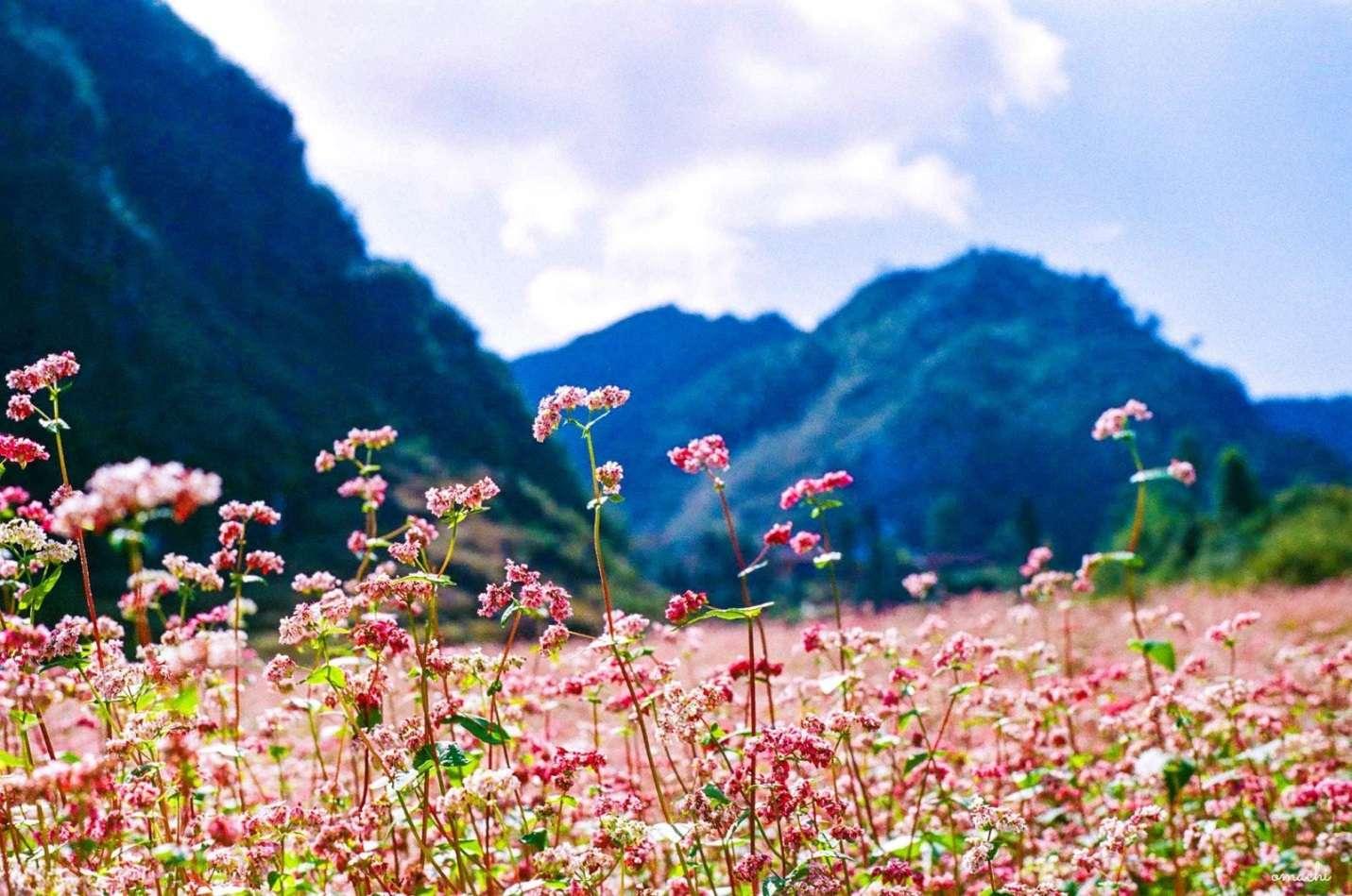 Chút nhẹ nhàng mong manh của hoa tam giác mạch làm cho cảnh núi non hiểm trở ở Hà Giang trở nên hiền hòa hơn rất nhiều