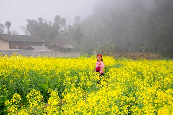Cánh đồng hoa cải vàng cũng là một điểm đến lí tưởng cho những ai yêu thiên nhiên