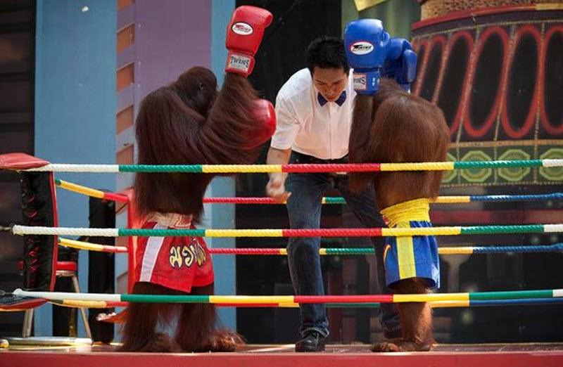 """Show """"đấu võ"""" của các bạn tinh tinh, khỉ đột"""