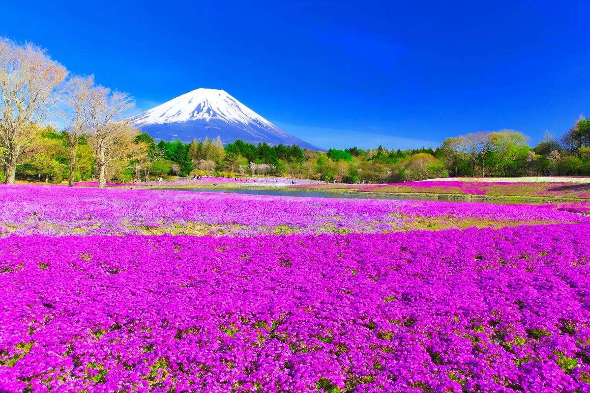 Lễ hội Shibazakura ở núi Phú Sĩ